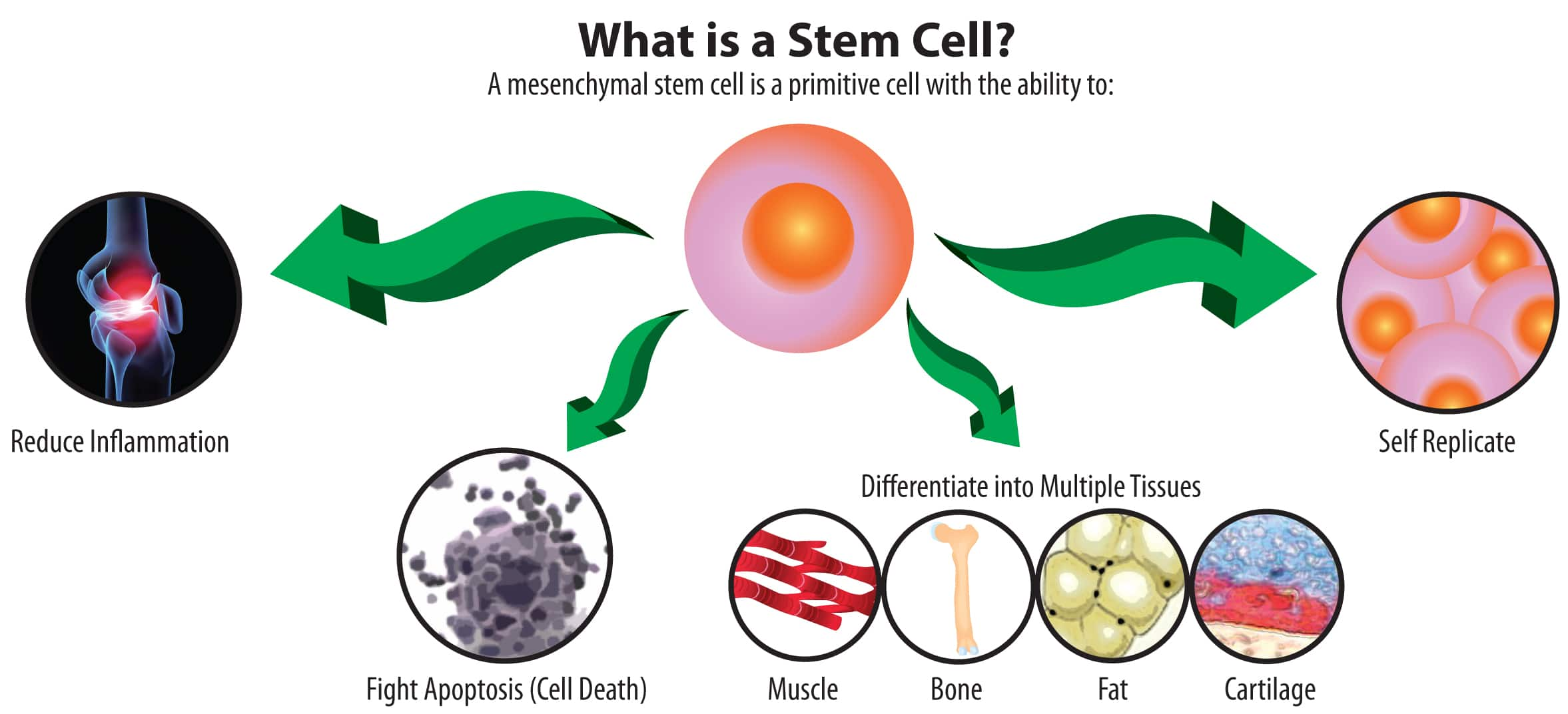 WhatIsAStemCell_ILLUSTRATION
