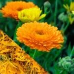 calendula officianalis